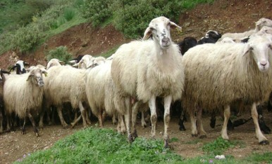 moutons7