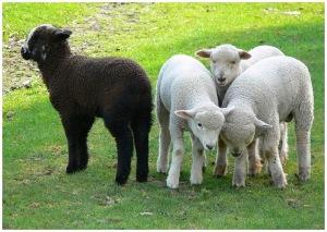 mouton noir2
