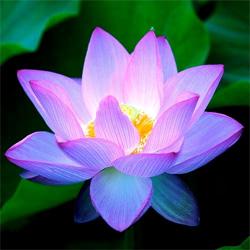 lotus-bleu